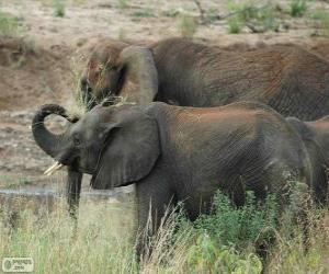 Puzzle de Elefantes comiendo hierbas