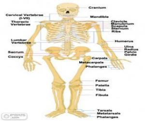 Puzzle de Esqueleto humano. Los huesos del cuerpo humano (ingles)