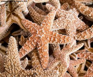 Puzzle de Estrellas de mar