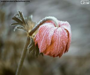 Puzzle de Flor congelada
