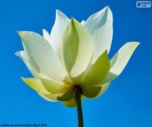 Puzzle de Flor de loto blanca