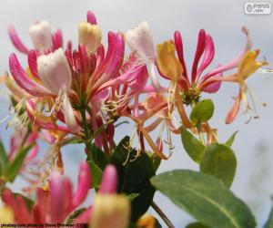 Puzzle de Flor de madreselva