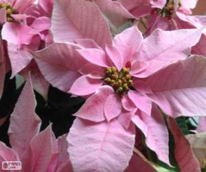 Puzzle de Flor de Navidad, rosa