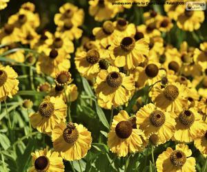 Puzzle de Flores de Equinácea