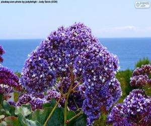 Puzzle de Flores de Limonium perezii