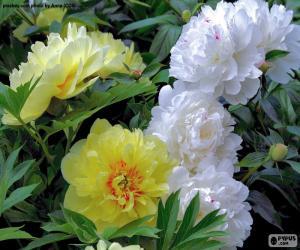 Puzzle de Flores de paeonia