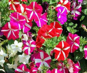 Puzzle de Flores de petunia