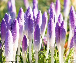 Puzzle de Flores del azafrán