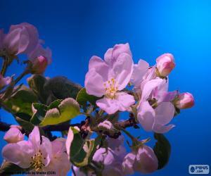 Puzzle de Flores del manzano