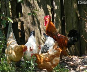 Puzzle de Gallo y gallinas
