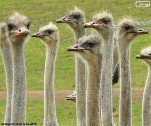 Puzzle de Grupo de avestruces