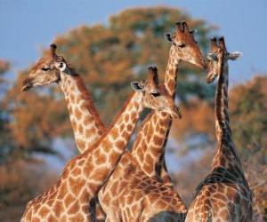 Puzzle de Grupo de cuatro jirafas