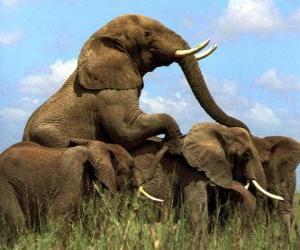 Puzzle de Grupo de elefantes, de grandes colmillos