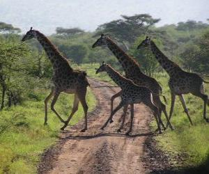 Puzzle de grupo de jirafas cruzando un camino