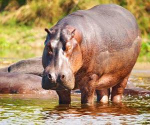 Puzzle de Hipopótamo salvaje