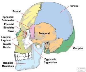 Puzzle de Huesos del cráneo humano