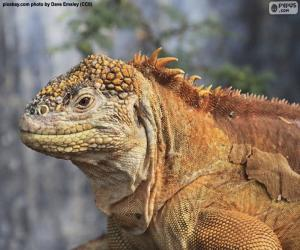 Puzzle de Iguana terrestre de Galàpagos