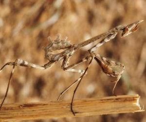 Puzzle de Insecto palo