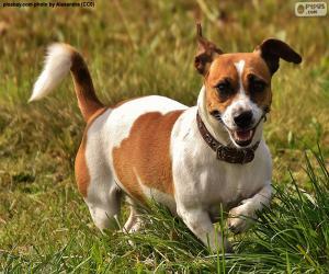 Puzzle de Jack Russell Terrier
