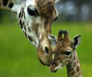 Puzzle de jirafa junto a su cría