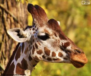 Puzzle de Joven jirafa