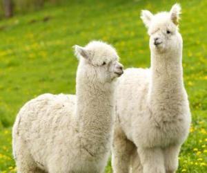 Puzzle de La alpaca es una especie doméstica