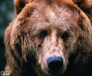 Puzzle de La cabeza de un gran oso
