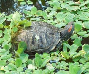 Puzzle de La jicotea elegante, también conocida como galápago de Florida, o tortuga de orejas rojas