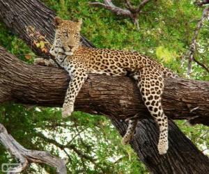 Puzzle de Leopardo descansando