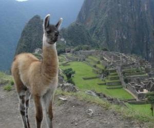 Puzzle de Llama, el animal más conocido del imperio de los antiguos incas