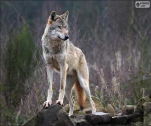 Puzzle de Lobo, mamífero carnívoro en estado salvaje