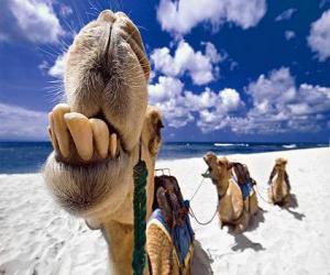 Puzzle de Los camellos de los tres Reyes Magos descansando en su camino hacia Belén