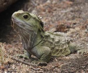 Puzzle de Los tuátaras son reptiles endémicos de las islas aledañas a Nueva Zelanda