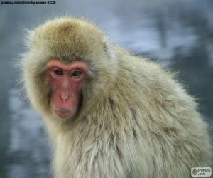 Puzzle de Macaco japonés