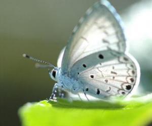 Puzzle de Mariposa blanca