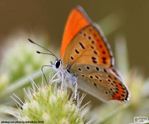 Puzzle de Mariposa naranja