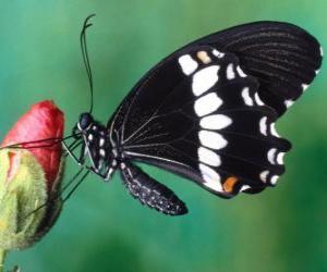 Puzzle de Mariposa negra
