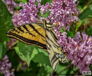 Puzzle de Mariposa tigre del Canadá