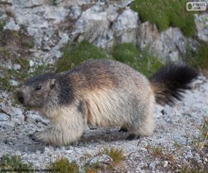 Puzzle de Marmota alpina