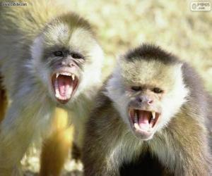 Puzzle de Monos capuchinos