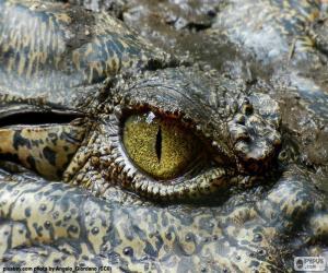 Puzzle de Ojo de cocodrilo