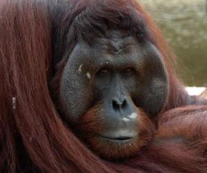 Puzzle de Orangután De Borneo