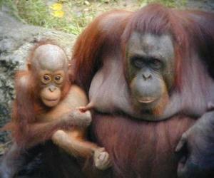 Puzzle de orangutan junto a su cría