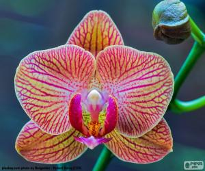 Puzzle de Orquídea Phalaenopsis