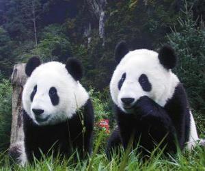 Puzzle de Osos panda gigantes