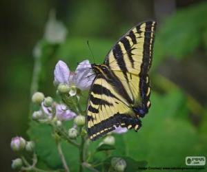 Puzzle de Papilio glaucus, mariposa originaria del este de Estados Unidos