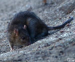 Puzzle de Rata