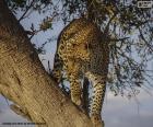 Leopardo sobre la rama de un árbol
