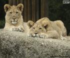 Jóvenes leones