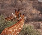 Dos jirafas, una comiendo hierba mientras la otra vigila